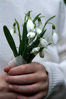 fist full of snowdrops