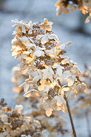 FROSTY FLOWER HEAD OF HYDRANGEA PANICULATA 'STARLIGHT FANTASY DEGUSTAR' AT THE RHS GARDENS, WISLEY, SURREY. WINTER