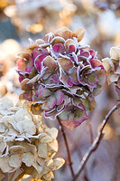 FROSTY FLOWER HEAD OF HYDRANGEA MACROPHYLLA 'ALTONA' AT THE RHS GARDENS, WISLEY, SURREY. WINTER