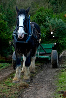 Shire Horses at christmas tree farm Jacky Hobbs