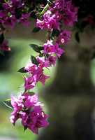 BOUGAINVILLEA;PHOTOGRAPHS MICHELLE GARRETT