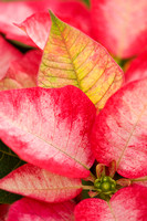 POINSETTIA NURSERY;PHOTOGRAPHER CLIVE NICHOLS