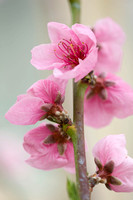 BLOSSOM; PEACH AND APRICOT;PHOTOGRAPHER CLIVE NICHOLS