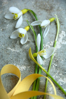 YELLOW SNOWDROPS; PHOTOGRAPHER MICHELLE GARRETT
