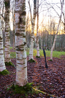 BIRCH TREE COLLECTION;PHOTOGRAPHER CLIVE NICHOLS.