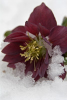 hybrid hellebore in te snow- helleborus hybrid'party dress group