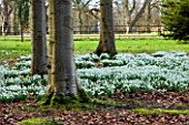 SNOWDROPS AT COLESBOURNE PARK, GLOUCESTERSHIRE