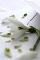 snowdrop in love letter