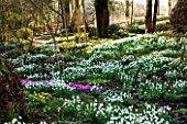 SNOWDROPS AND CYCLAMEN AT COLESBOURNE PARK, GLOUCESTERSHIRE