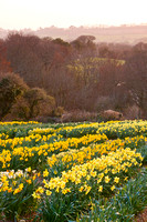SCAMPS DAFFODILS; PHOTOGRAPHER CLIVE NICHOLS