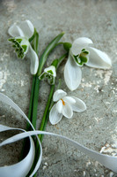 Snowdrops specimens grey A_Z. Photographer Michelle garrett