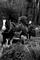 SHIRE HORSE AMABSSADOR ON CHRISTMAS TREE FARM