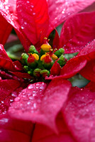 POINSETTIA NURSERY/SPECIMENS;PHOTOGRAPHER MICHELLE GARRETT