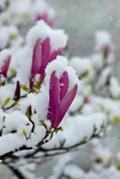 LATE SNOW BLOSSOM;PHOTOGRAPHER MICHELLE GARRETT.