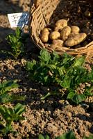 jersey royal potato harvest