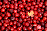 CRANBERRY HARVEST 2 ; PHOTOGRAPHER JACKY HOBBS