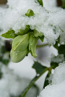 hellebore in the snow. helleborus