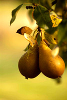 PEARS; PHOTOGRAPHS MICHELLE GARRETT
