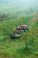 APPLE ORCHARD AND VARIETIES;PHOTOGRAPHER JACKY HOBBS