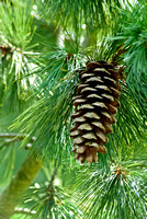 CHRISTMAS TREES AND CONES;PHOTOGRPAHER MICHELLE GARRETT