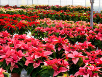 POINSETTIA NURSERY; PHOTOGRAPHS CLIVE NICHOLS